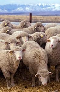 Perzisch-Tapijt-Ikea-schapen